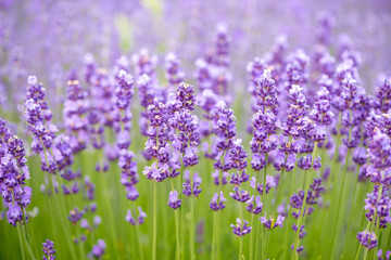 Meadow of lavender. Nature composition. Selective focus