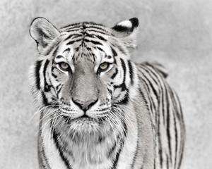 Deurstickers Tijger Amur tiger (Panthera tigris altaica)