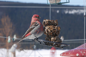 colorful male pine grosbeak on feeder