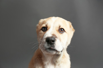 Central Asian Shepherd puppy on grey background