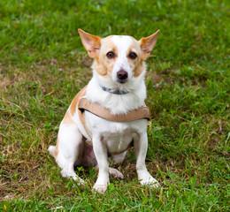 Mongrel dog sitting on the grass