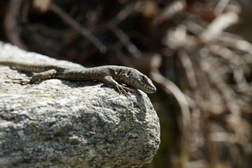 A common wall lizard Podarcis muralis looks calmly and attentive in the direction of the observer. He is at the edge of a grey and white mottled crude stone. May, North Italy.