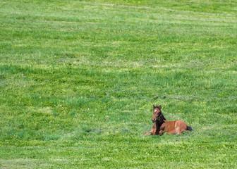 Brown Foal Lays in Green Field