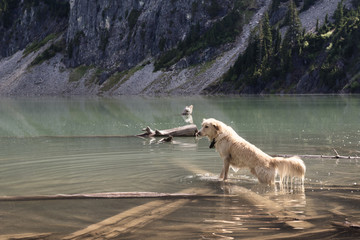 Wet dog standing in lake