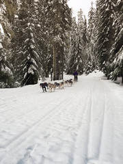 Dog sled moving amidst trees on snow covered field