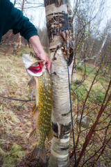 Catching predatory fish in the North. Trophy pike
