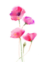Watercolor painting poppy flower. Isolated flowers on white background. Pink and red poppy flower painting. Hand painted watercolor floral, flower background.