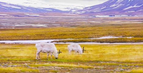Reindeers eats grass at the plains of Svalbard