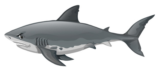 Wild shark on white background