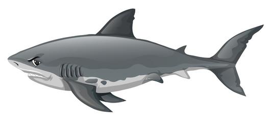 Wild shark on white background