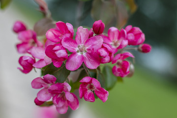 Blossoming apple flowers in spring