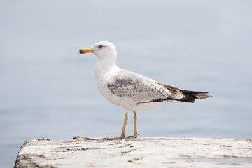 sea gull bird