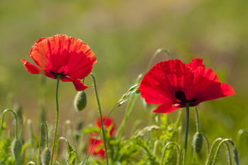 Couple of red poppies