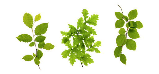 Green leaves isolated on white . Wall mural