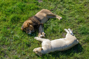 Lion and his white lioness relaxing on the grass