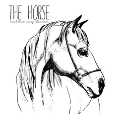 Vector portrait of the horse. Hand drawn vintage style illustration. Isolated on white background. Engraved style stallion head drawing.
