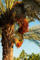 Date palm tree with red dates