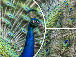 Collage Portrait of beautiful peacock with feathers out