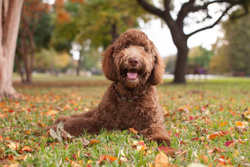 Happy Labradoodle Laying in Autumn Leaves
