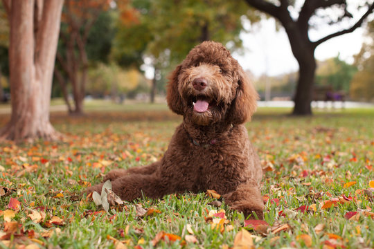 Labradoodle Laying in Autumn Leaves