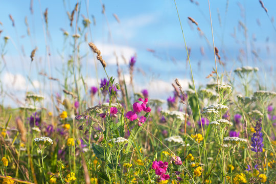 Wild flowers meadow with sky in background
