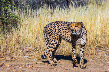 Feeding of cheetah