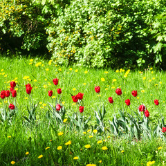 Red tulips in spring Park