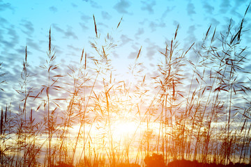 wild grass in sunset counterlight