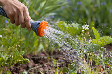 hand watering strawberry in the garden