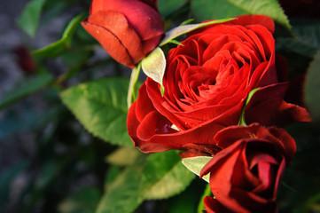 red roses on garden