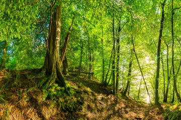 Fototapete - Alter Baum auf einem Hügel im Wald