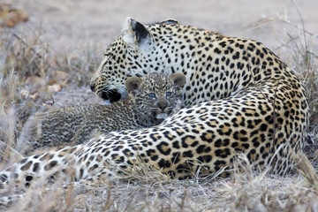 Leopard mother cares for her cub in gathering darkness