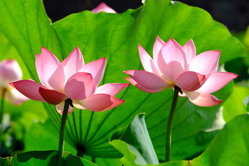 Wall Mural - Lotus flower in sunlight.