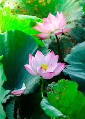 Fototapete - Lotus flower in sunlight.