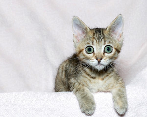 six week old striped tabby kitten on a pink blanket, paws over edge looking surprised, waiting, watching.