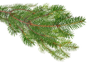 dark green isolated fir branches