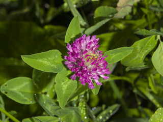Flowers and leaves of Red Clover, Trifolium pratense, with bokeh background macro, selective focus, shallow DOF