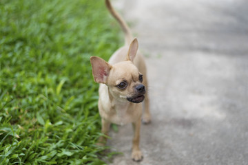Miniature Pinscher on the front lawn and blurred background