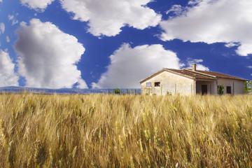 Wheat field, blue sky, big clouds