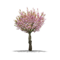 Cherry Tree in high definition isolated on a white background