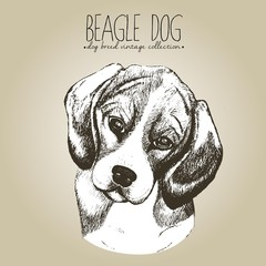 Vector close up portrait of beagle. Hand drawn domestic pet dog illustration in shebby vintage style. Isolated on craft brown background.