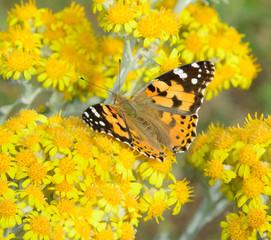 Butterfly Aglais urticae
