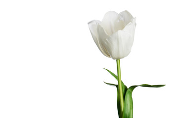 single white tulip isolated on a white background horizontal