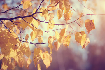 Yellow-gold leaves in the fall.