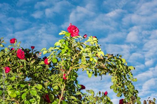 rote rosen mit bl tterrahmen vor blauem himmel. Black Bedroom Furniture Sets. Home Design Ideas