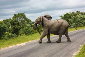 An Elephant walking across the road