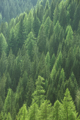 Healthy green trees in a forest of old spruce, fir and pine