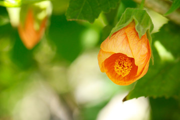 Macro of a beautiful Abutilon Pictum flower
