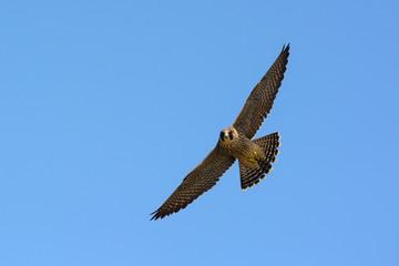 falcone pellegrino (Falco peregrinus) - giovane in volo