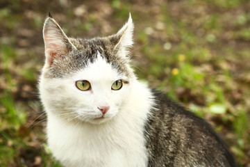 siberian cat close up face portrait